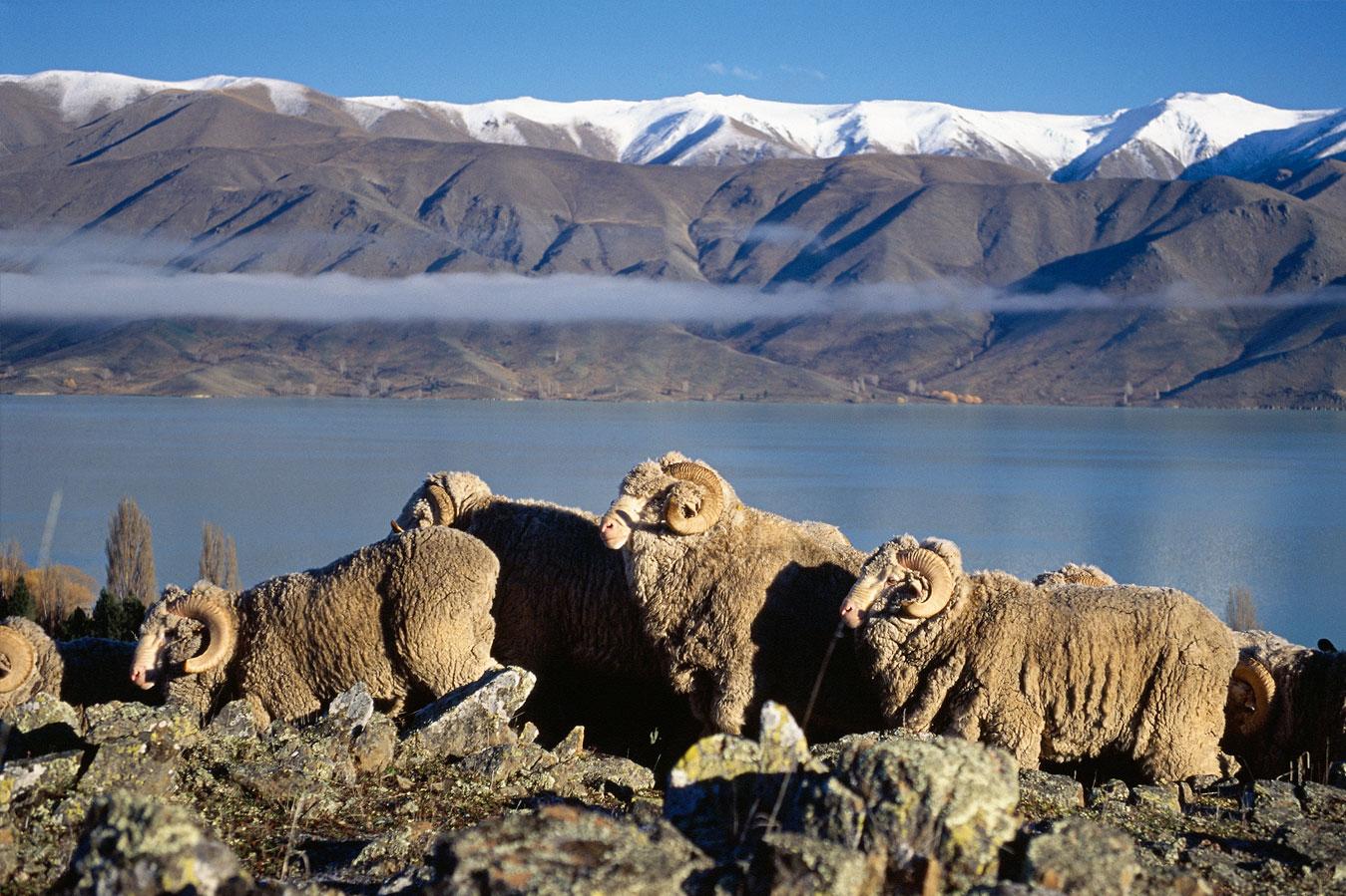 Овцы породы меринос саксон